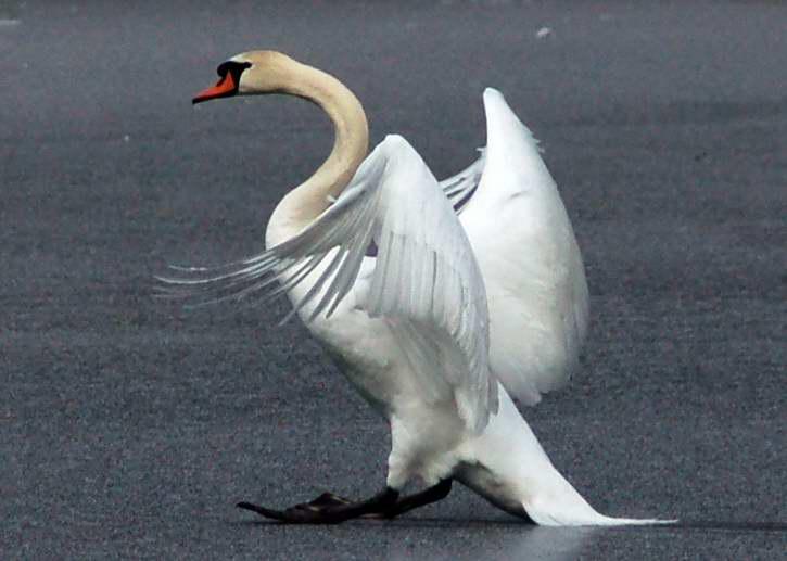 Mute swan landing on ice