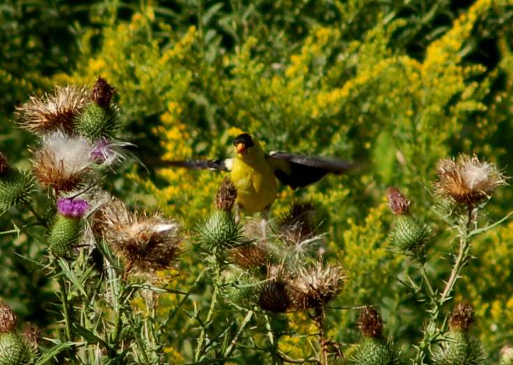 Male American goldfinch in flight