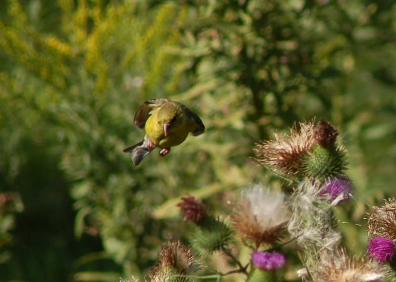 Female American goldfinch coming in for a landing