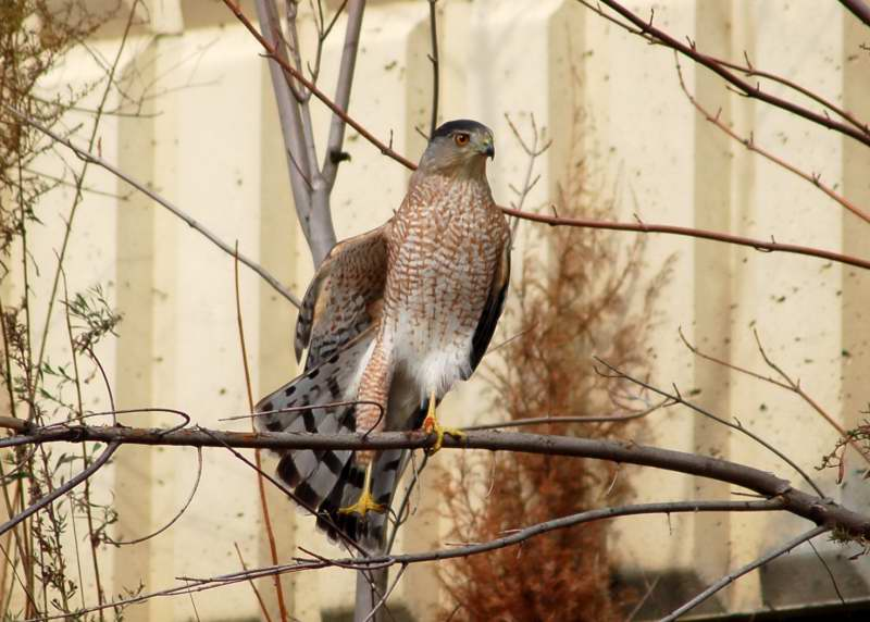 Coopers hawk stretching
