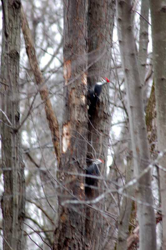 A horrible shot of two pileated woodpeckers