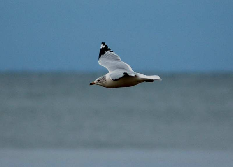Herring gull in flight