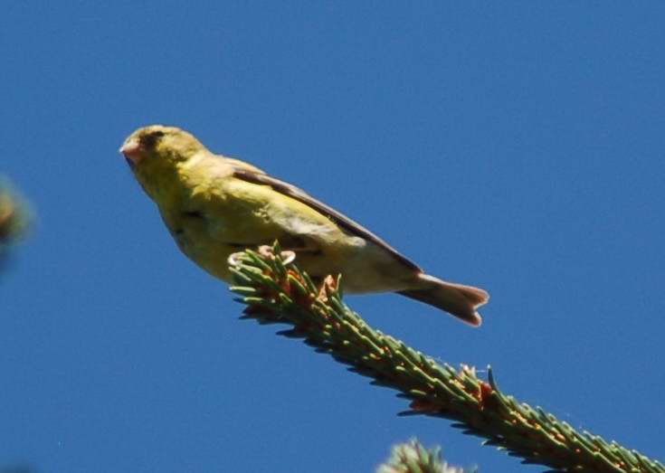 Female American goldfinch enjoying the sunshine