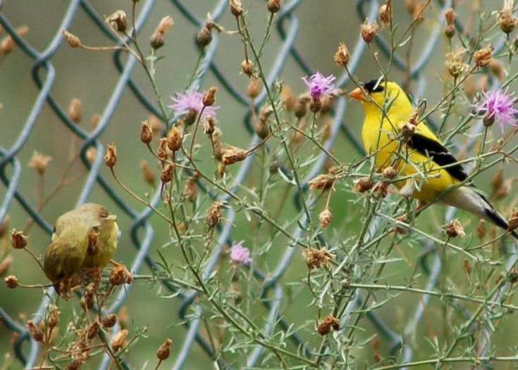 Male and feale American Goldfinches