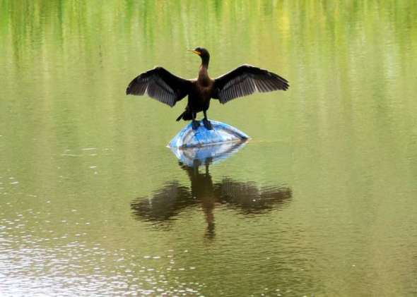 Double crested cormorant drying its wings