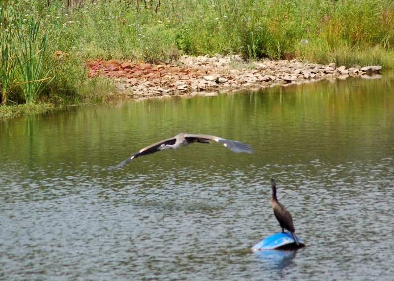 Great blue heron flying past a double crested cormorant