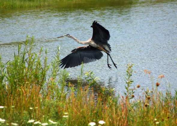 Great blue heron in flight and fight