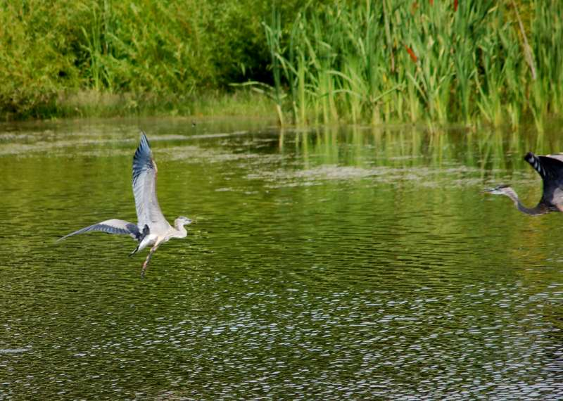 Great Blue herons in flight