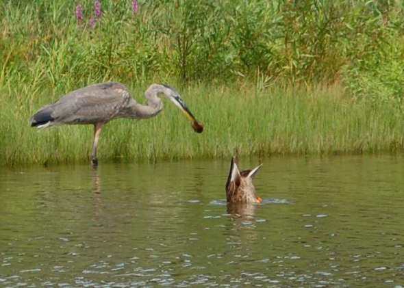 Great blue heron carrying a rodent