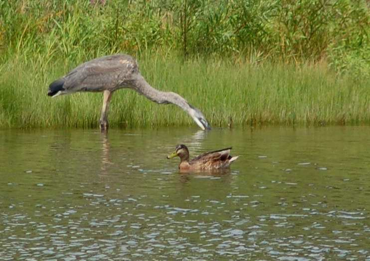 Great blue heron drowning a rodent