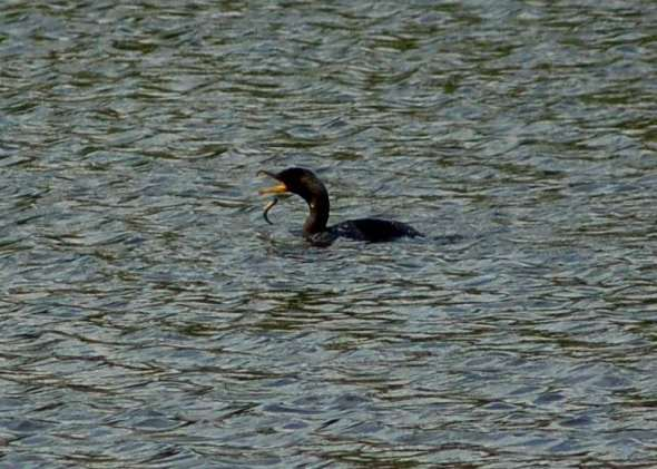 Double crested cormorant letting a fish go