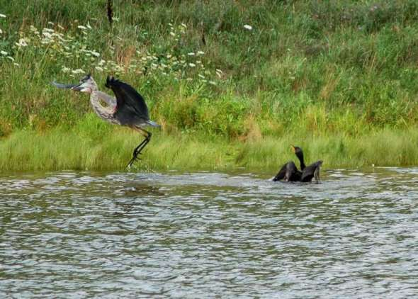 A double crested cormorant attacking a great blue heron
