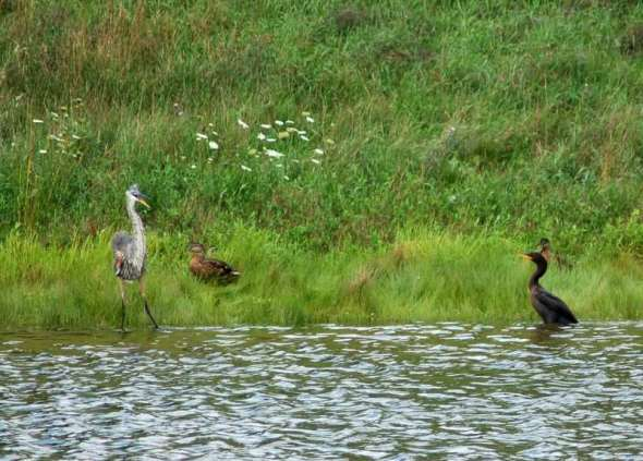A double crested cormoorant attacking a great blue heron