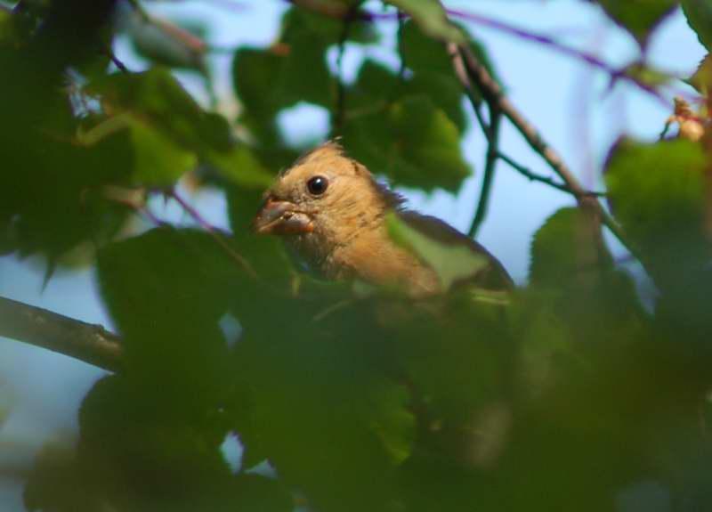 Juvenile female northern cardinal