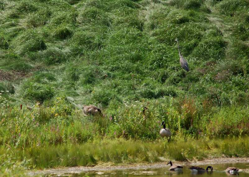 Lonesome George chasing off other geese