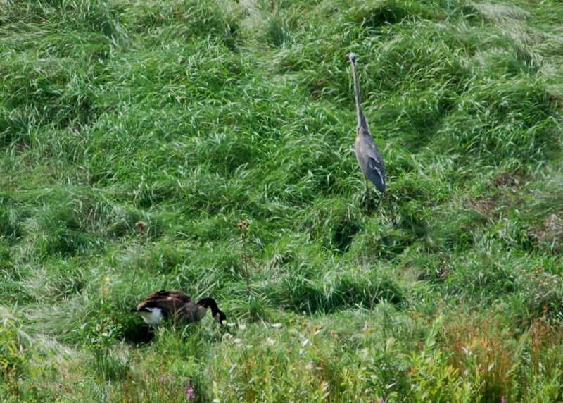 Lonesome George and the nice heron