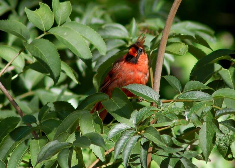Juvenile male northern cardinal