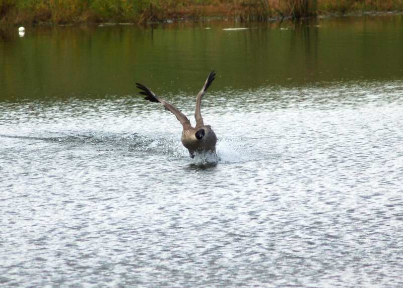 Canada goose playing