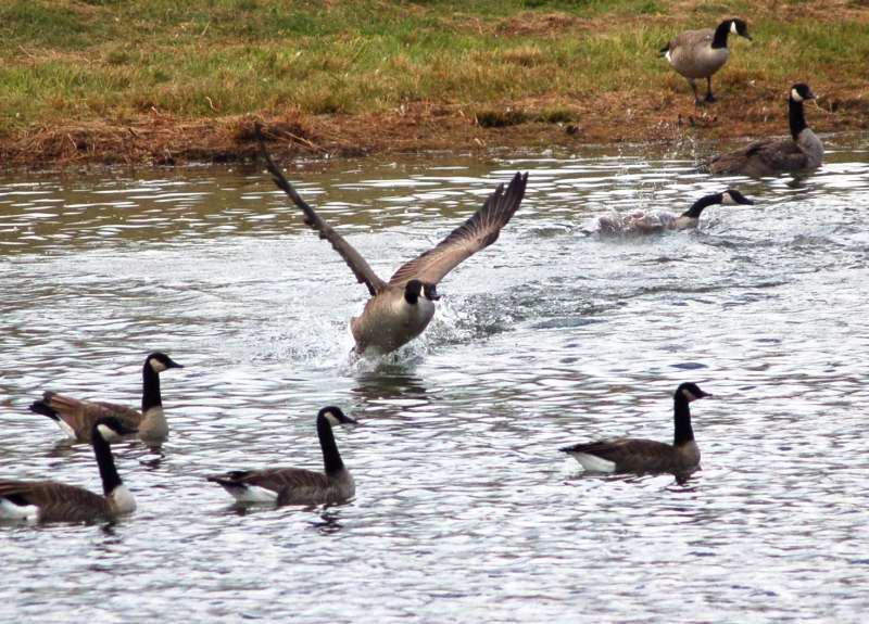 Canada goose choosing a target