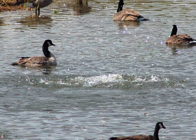 Canada geese playing