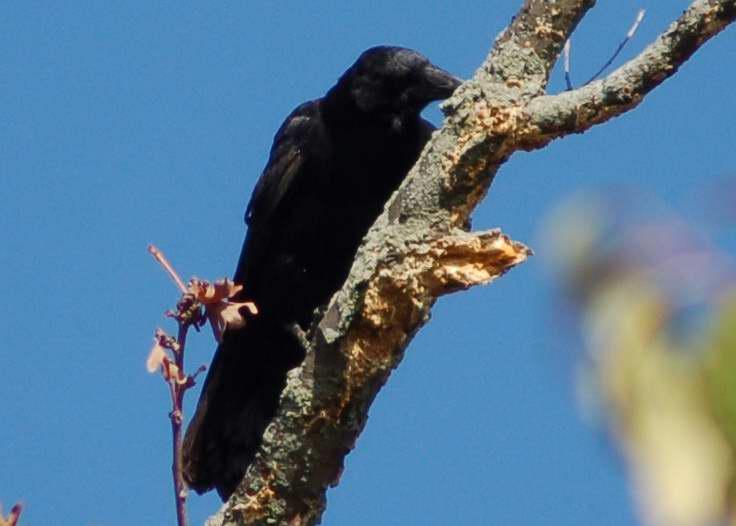 American Crow, playing woodpecker