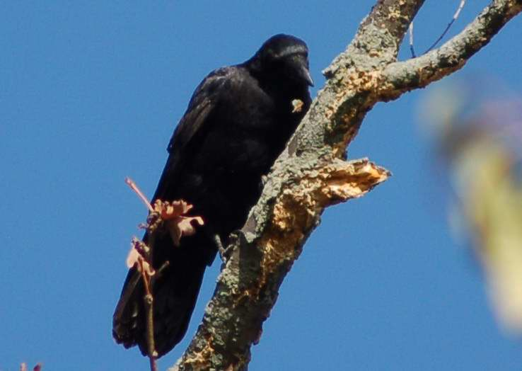American Crow, playing woodpecker