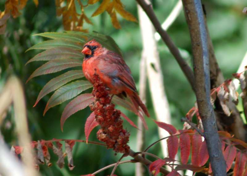 Juvenile male northern cardinal