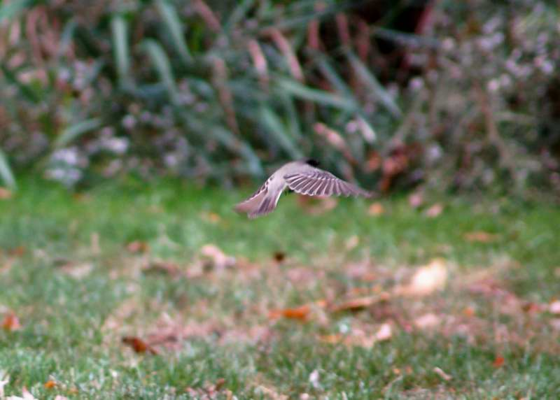 Juvenile Eastern Phoebe in flight