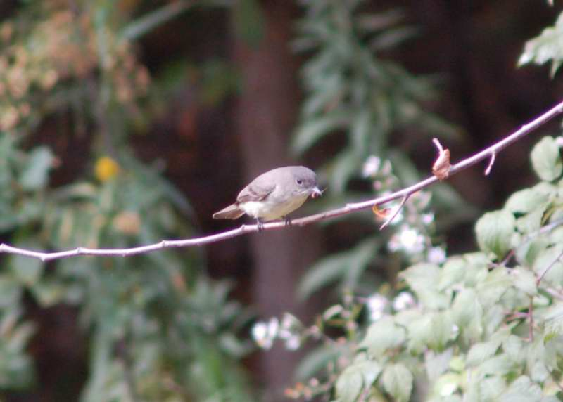 Juvenile Eastern Phoebe with its catch