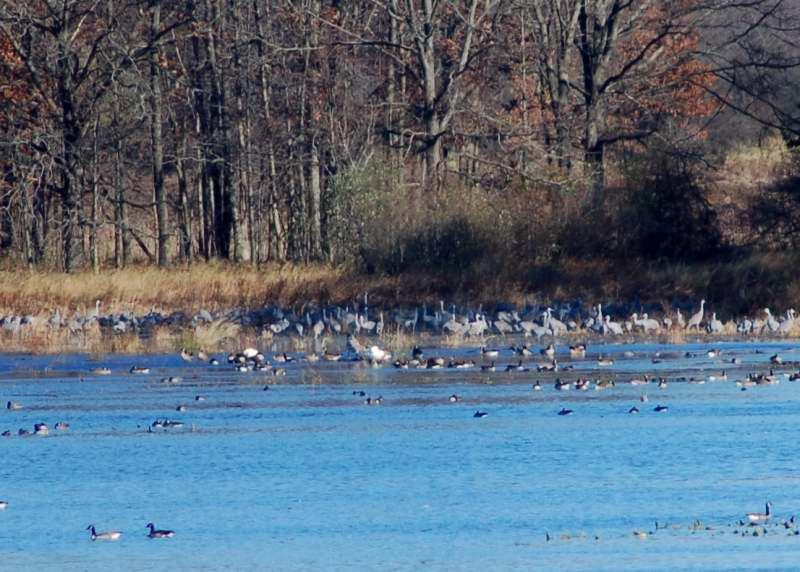 Sandhill cranes in the distance