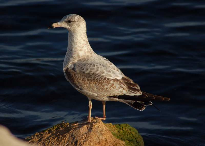 Juvenile ring-billed gull
