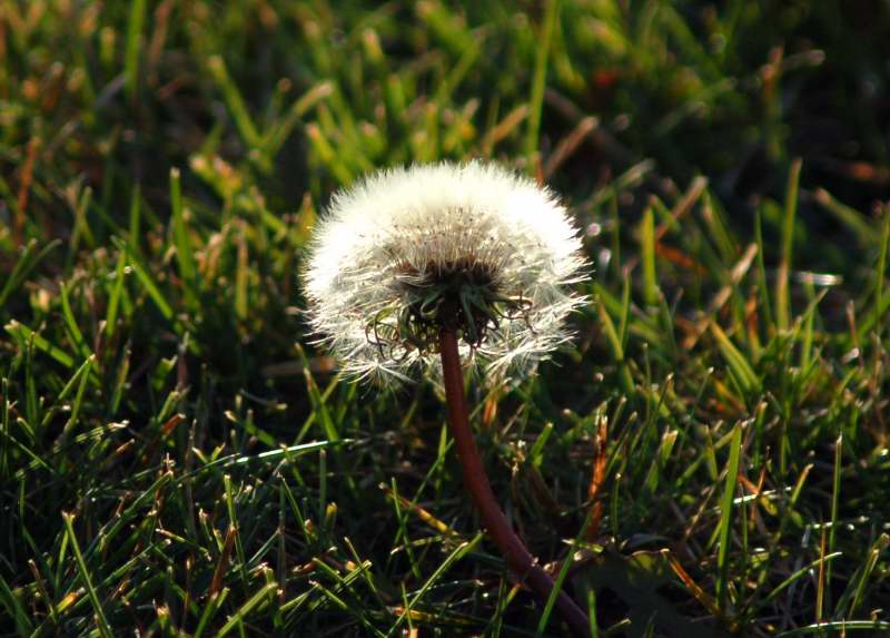 The last dandelion?