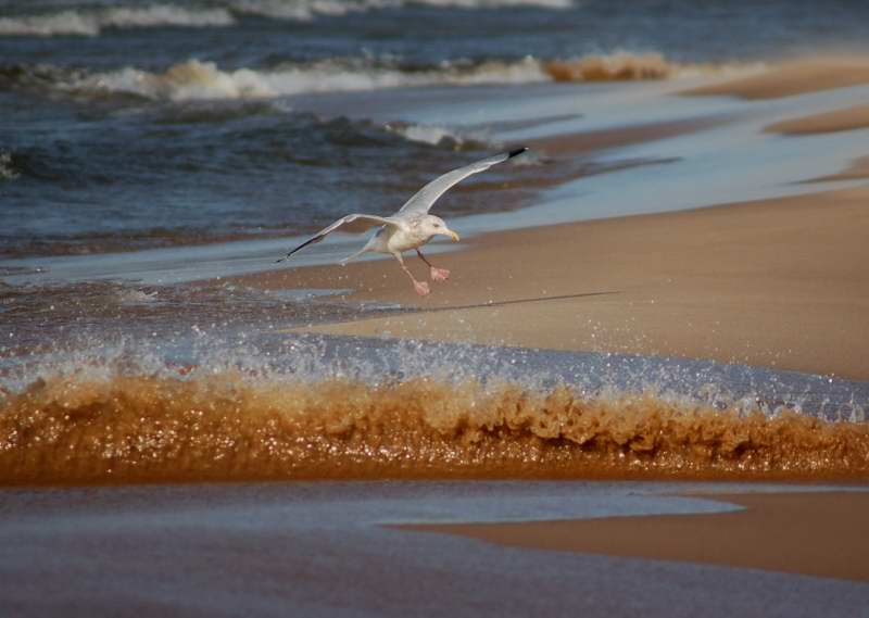 Herring gull jumping waves