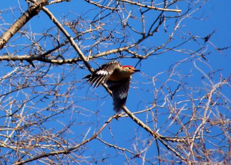 Red-bellied woodpecker in flight
