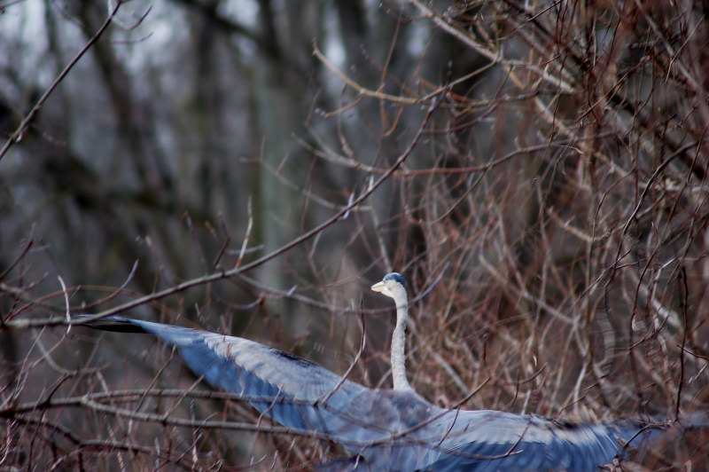 Great blue heron trapped in the branches