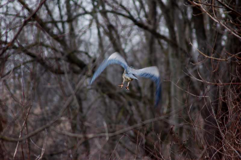 Blurry great blue heron