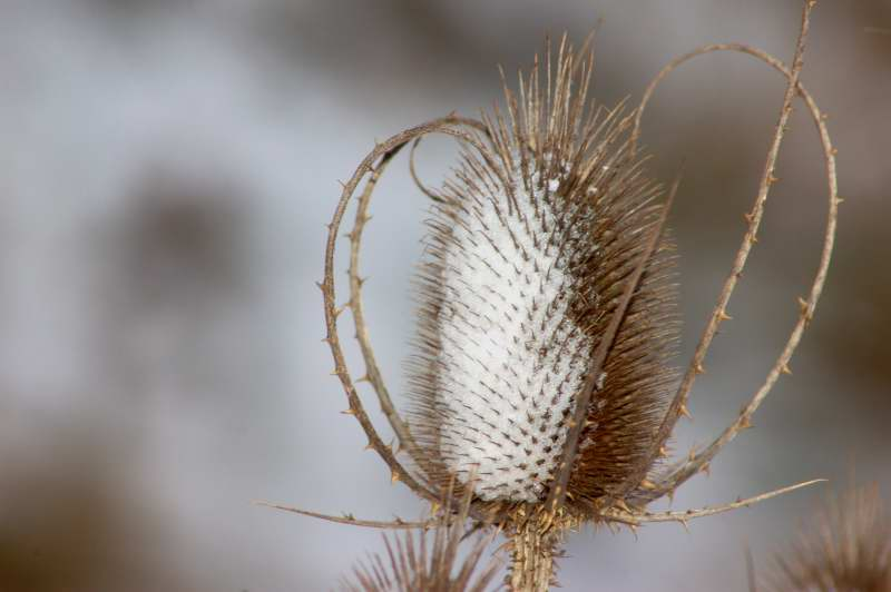Snow blasted teasel