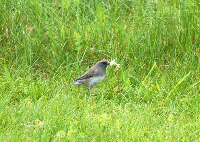 Dark eyed junco eating dandelion seeds