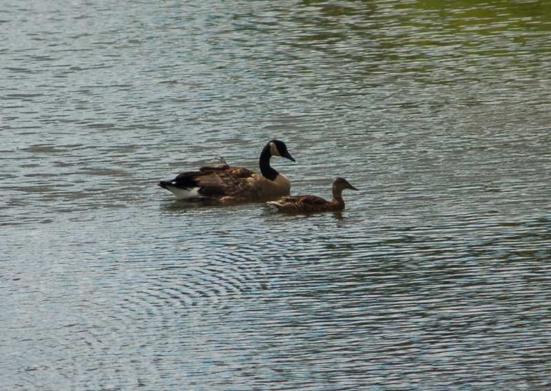 Lonesome George and Molly the mallard on an earlier day