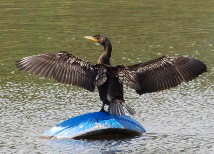 Double-crested cormorant drying its wings