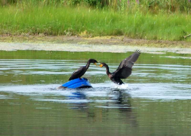 Two double crested cormorants fighting