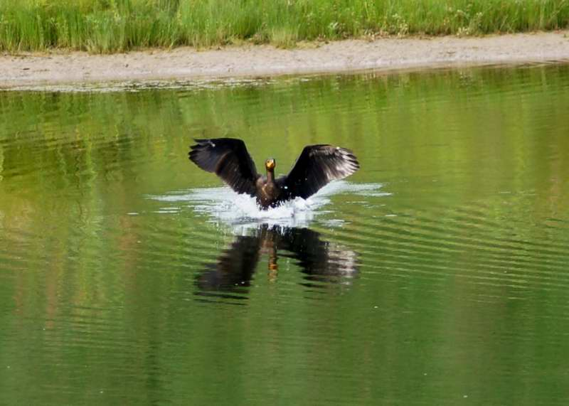 A double crested cormorants landing