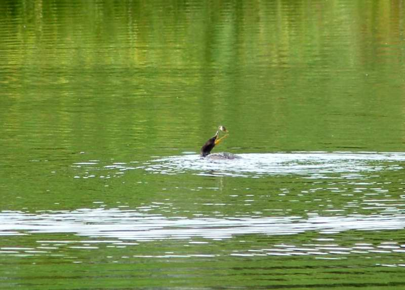 A double crested cormorant with a fish