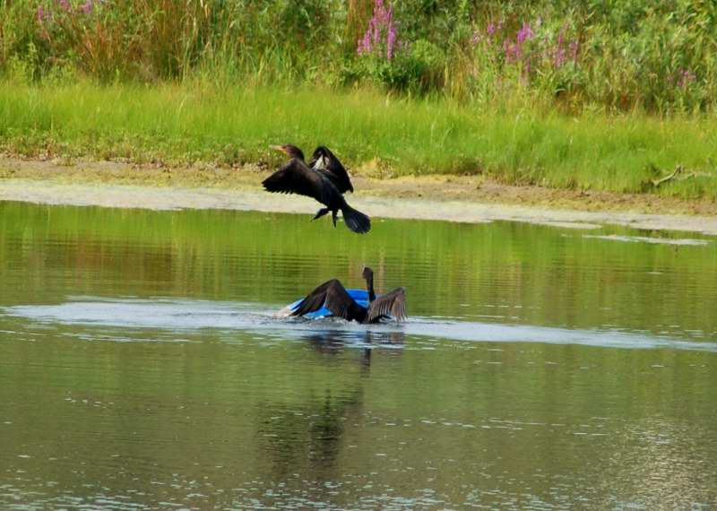 Double crested cormorants at play