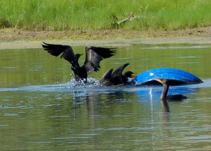 Double crested cormorants playing