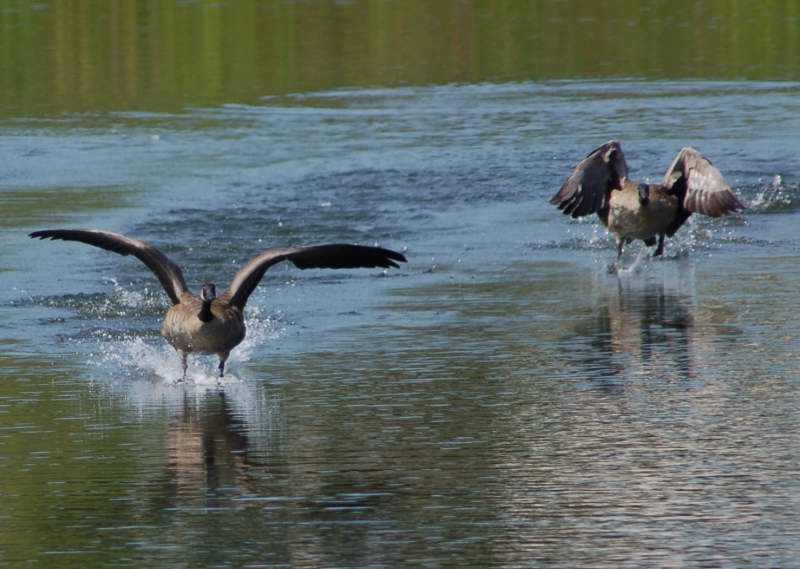Canada geese in a panic, being chased by a cormorant