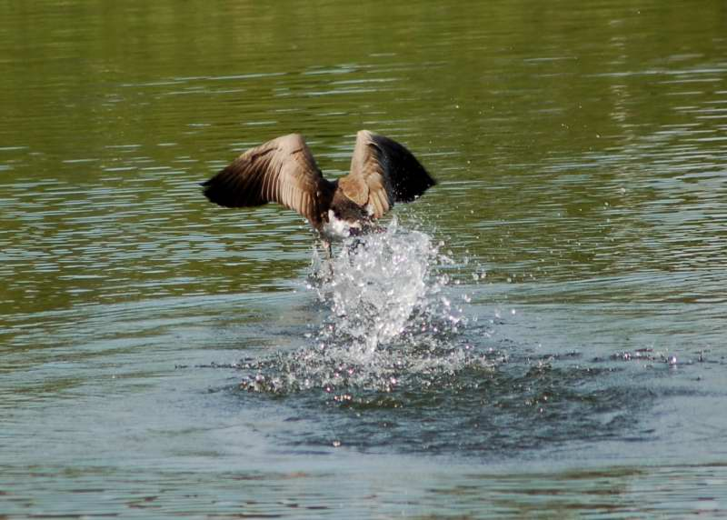 Canada goose taking flight