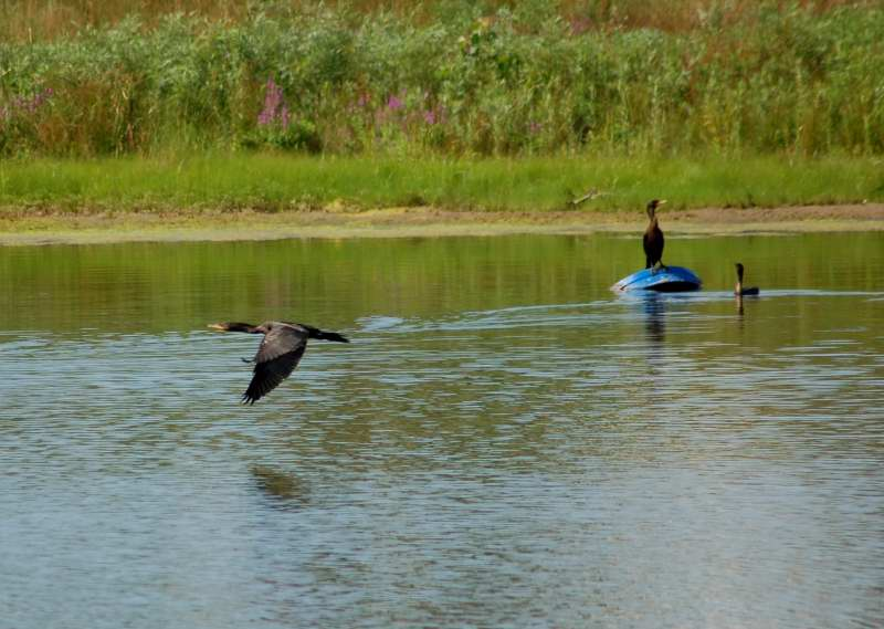A double crested cormorant flying past two others