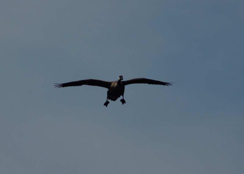 Canada goose set to land