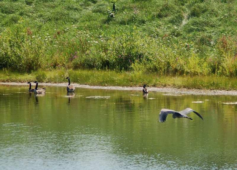 Great blue heron in flight towards Canada geese